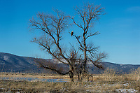 Bald Eagle (Haliaeetus leucocephalus) sitting in tree along auto tour route in Lower Klamath National Wildlife Refuge, Oregon-California Border.  February.