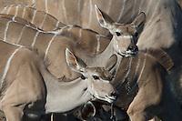 Female Kudu drinking from Klein Namutoni Waterhole in Etosha, Namibia