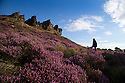 15/08/14 <br /> <br /> A walker admires stunning late-summer heather on  Ramshaw Rocks, near Leek in the Staffordshire Peak District.<br /> <br /> All Rights Reserved: F Stop Press Ltd. +44(0)1335 300098   www.fstoppress.com.