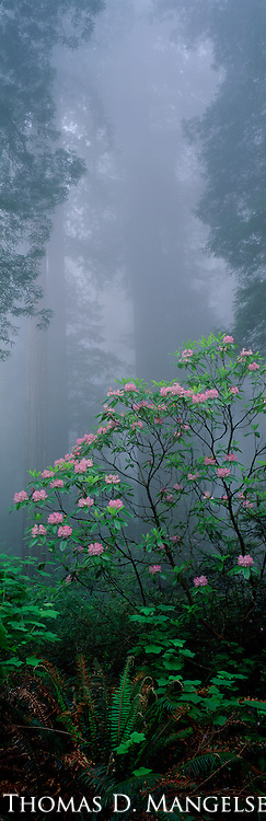 Rhododendrons bloom among redwoods in the Redwood National Forest in California.