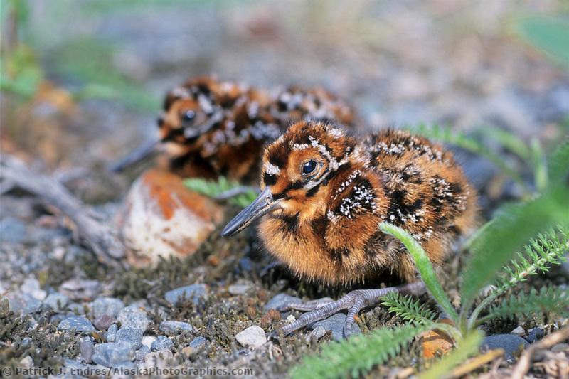 Wilson's snipe chick, interior, Alaska