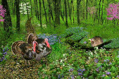 Wild turkeys in spring woods along path, two males and a female, Missouri USA