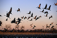 A large Sandhill Crane (Grus americana) flock.
