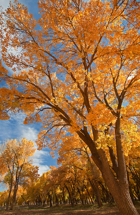 Cottonwood trees (Populus fremontii) in Canyon de Chelly National Park, Arizona, United States of America