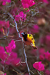 Male Golden-backed Weaver perched in a flowering tree in Kenya.