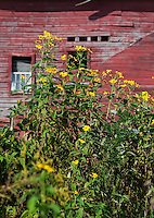 Yellow daisies growing in front of the red barn of a farm, Massachusetts, USA
