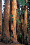 Giant Sequoia (Sequoiadendron giganteum), Sequoia National Park, California, USA