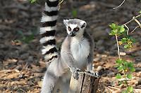 Lemur catta (Lemur catta), zone Madagascar, new Parc Zoologique de Paris, or Zoo de Vincennes, (Zoological Gardens of Paris, also known as Vincennes Zoo), Museum National d'Histoire Naturelle (National Museum of Natural History), 12th arrondissement, Paris, France. Picture by Manuel Cohen