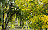 Weeping Willow and Beech Trees