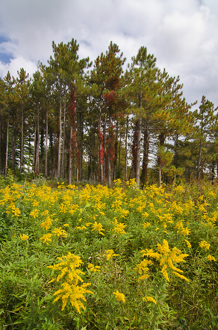 Goldenrod fills a grassland area that is slowly being restored in front of a pine plantation plot that is slowly being removed and reduces, Morton Arboretum, DuPage County, Illinois
