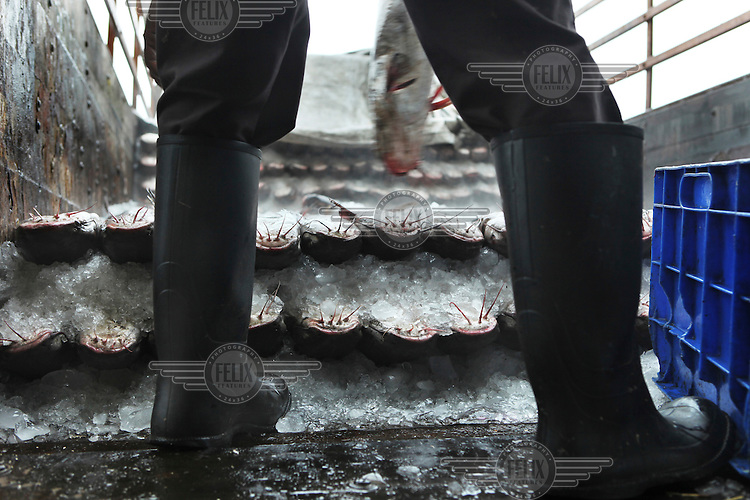 Fish is loaded onto a truck at Sassoon Dock. The fresh catch is sold on the spot. The bigger fish, shrimps and prawns are sold to export companies. Fish production in India has increased more than fivefold since independence making it one of the world's leading seafood exporting nations..