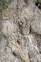 Old olive tree. Detail of trunk and bark. Bacalhoa Vinhos, Azeitao, Portugal