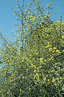 Cornelian-cherry Cornus mas (Cornaceae) HEIGHT to 8m <br /> Small, spreading deciduous tree with an untidy crown. BARK Reddish brown. BRANCHES Mostly level, ending in numerous greenish-yellow, slightly downy twigs. LEAVES Opposite, short-stalked, ovate and pointed, to 10cm long and 4cm wide with rounded bases; dull green above and slightly downy with entire margins. REPRODUCTIVE PARTS Flowers in small stalked heads, about 2cm across, consist of up to 25 small yellow flowers, each about 4mm across. Flowers open early in year, well before leaves. Fruit is a short-stalked, pendulous, bright-red, fleshy berry, to 2cm long, with pitted apex and acid taste. STATUS AND DISTRIBUTION Native of scrub and open woodlands in central and SE Europe, grown here for its winter flowers and edible fruits. Naturalised occasionally.