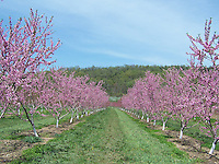 Flowering peach and apple trees, Late April, Conklin's Orchard, Pomona, NY, The Orchards of Conklin, The Orchards of Concklin, Concklin's Orchard,