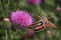 The white-lined sphinx flies primarily at night, despite its other common name, the morning sphinx. Adults will nectar on a wide variety of flowers, including thistle, columbine, lilac, and clover.