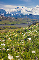 Mountain aven wildflowers in spring bloom on the tundra, Mt Denali visible in the distance.