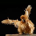 13/10/07 - THIERS - PUY DE DOME - FRANCE - 41 Exposition d aviculture, Championnat Regional du Bantam Club Francais. Poule Negre Soie Fauve - Photo Jerome CHABANNE