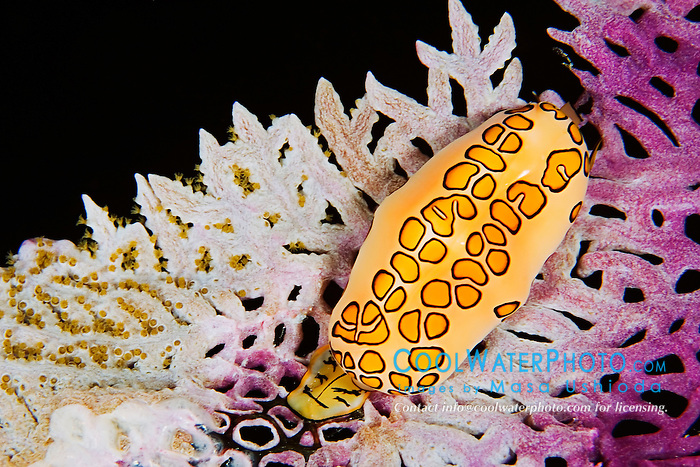 Flamingo Tongue, Cyphoma gibbosum, feeding on Venus Sea Fan, Gorgonia flabellum, at night, West End, Grand Bahamas, Atlantic Ocean