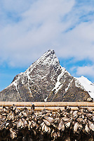 Heads of Cod Stockfish drying in winter air with mountain in background, Lofoten Islands, Norway