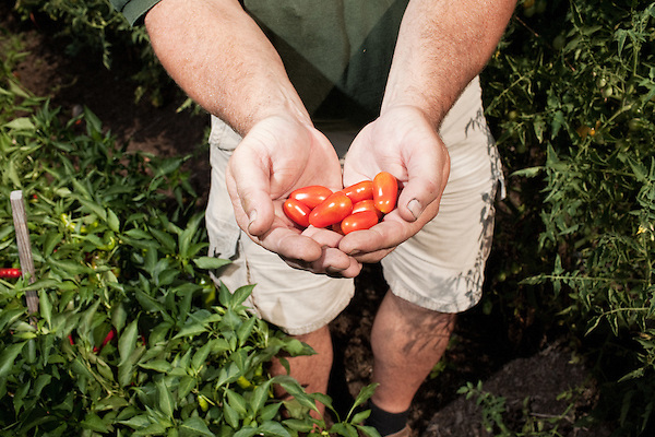 July 29, 2011. Cary, NC.. Tim Morton, the Site Sevices Manager at SAS, picks some tomatoes  at the company's onsite farm, which provides many of the fresh vegetables for the cafeterias on the SAS campus.. Profile of SAS, a software company that has many amenities for its employees.