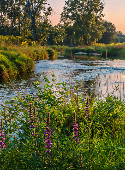 Nippersink Creek flows through a grassland in Late Summer Light.  While beautiful, invasive species like Purple Loosetrife find fertile ground and crowd out native species.  Preserve managers fight over growth with invasives removal.  Glacial Park, McHenry County, Illinois