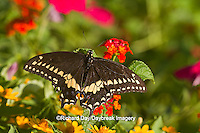 03009-01708 Black Swallowtail butterfly (Papilio polyxenes) male on Red Spread Lantana (Lantana camara) Marion Co., IL