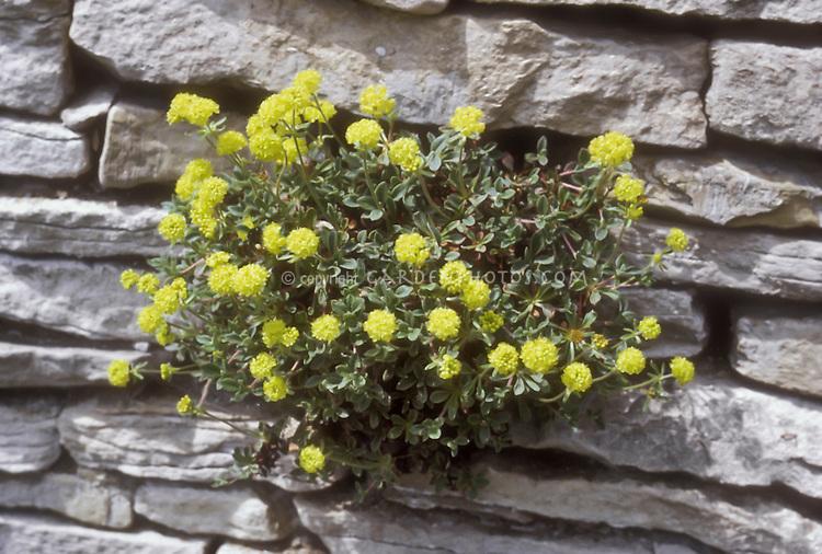 Eriogonum umbellatum 'Majus' growing on stone wall, sulfur flower buckwheat