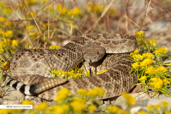 Diamondback rattlesnake in yellow flowers