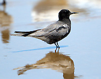 Black tern in breeding plumage