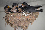 Horseshoe Bay, Texas; four fledgling Barn Swallows (Hirundo rustica) waiting with mouths open in their mud nest at twilight for their parents to bring them food
