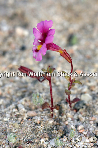 Palmer's Monkeyflower (Mimulus palmeri). Red Rock Canyon State Park. Near California City, Kern Co., Calif.