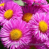 Gisela, FLOWERS, BLUMEN, FLORES, photos+++++,DTGK1911,#f#