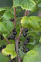 Schwarze Johannisbeere, Schwarze Johannis-Beere, Früchte, Ribes nigrum, Blackcurrant, Cassis, Cassissier