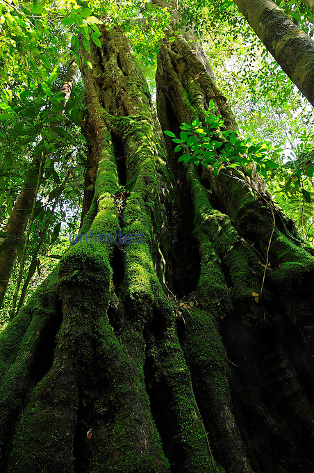 Buttress roots of a giant rainforest tree, Tanjung Puting National Park, Kalimantan, Borneo, Indonesia