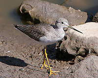 Greater Yellowlegs, San Blas, Mexico