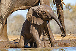 Botswana, Central District, African bush elephant (Loxodonta africana) calf plays at side of waterhole<br />