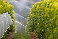 Europe/France/Midi-Pyrénées/82/Tarn-et-Garonne/Env  de Moissac: sur les Côteaux de Moissac: Vignes de Chasselas AOC