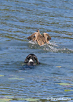 0222-1205  Tri-Colored English Springer Spaniel Hunting Dog Swimming in Water  © David Kuhn/Dwight Kuhn Photography