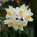 Narcissus tazetta subsp. trewianus, late March. The RHS lists this as Narcissus tazetta subsp. lacticolor var. trewianus or simplay as Narcissus trewianus.