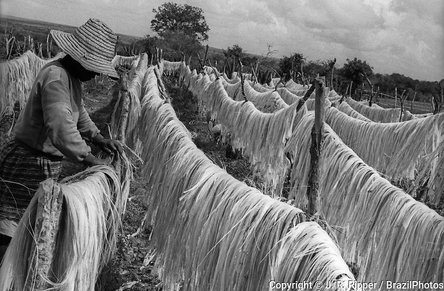 Sisal fibre sun drying, Valente city, Bahia State, Northeast Brazil. Sisal (Agave sisalana) is an agave that yields a stiff fibre traditionally used in making twine, rope and also dartboards. The term may refer either to the plant or the fibre, depending on context. Fibre is extracted by a process known as decortication, where leaves are crushed and beaten by a rotating wheel set with blunt knives, so that only fibres remain. In the drier climate of north-east Brazil, sisal is mainly grown by smallholders and the fibre is extracted by teams using portable raspadors which do not use water. Fibre is subsequently cleaned by brushing. Dry fibres are machine combed and sorted into various grades, largely on the basis of the previous in-field separation of leaves into size groups. Traditionally, sisal has been the leading material for agricultural twine because of its strength, durability, ability to stretch, affinity for certain dyestuffs, and resistance to deterioration in saltwater, but the importance of this traditional use is diminishing with competition from polypropylene and the development of other haymaking techniques, while new higher-valued sisal products have been developed. Apart from ropes, twines, and general cordage, sisal is used in low-cost and specialty paper, dartboards, buffing cloth, filters, geotextiles, mattresses, carpets, handicrafts, wire rope cores, and Macramé. In recent years sisal has been utilized as an environmentally friendly strengthening agent to replace asbestos and fibreglass in composite materials in various uses including the automobile industry. The lower-grade fibre is processed by the paper industry because of its high content of cellulose and hemicelluloses. The medium-grade fibre is used in the cordage industry for making ropes, baler and binder twine. Ropes and twines are widely employed for marine, agricultural, and general industrial use. The higher-grade fibre after treatment is converted into yarns and used by the carpet i
