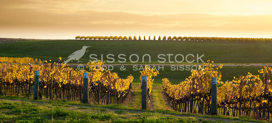 McArthur Ridge vineyard, sunset in autumn, near Alexandra, Central Otago, New Zealand - stock photo, canvas, fine art print