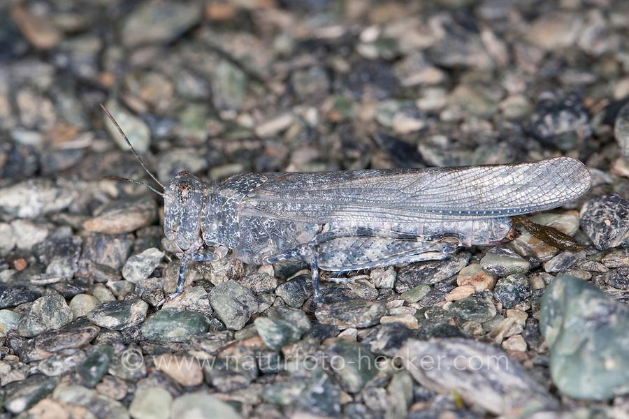 Sandschrecke, perfekte Tarnung auf dem Untergrund, Sphingonotus corsicus, Blue-winged Grasshopper, Camouflage. Korsika, Corsica