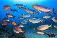 Big-eye Goggle-eye Soldier fish, Priacanthus hamrur, Koh Bon, Similan Islands, Mu Ko Similan National Park, Andaman Sea, Indian Ocean, Thailand