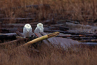 Snowy Owls (Bubo scandiacus) Female or Juvenile, sitting on Logs at Boundary Bay Regional Park, Delta, BC, British Columbia, Canada - aka Arctic Owl, Great White Owl or Harfang