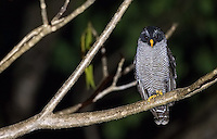 It took me several years, but I finally saw the Black-and-white owl.