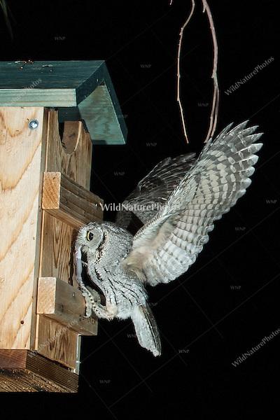 A Western Screech Owl (Megascops kennicottii) arrives at a nest box carrying prey item;  a Banded Gecko (Coleonyx variegatus). Tucson, Arizona