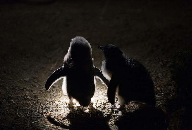 Baby fairy penguins (Eudyptula minor) await their parents return at Redbill Beach.  Bicheno, Tasmania, Australia