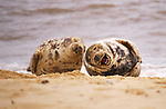 """A seal looks like it is rolling around in laughter on a beach as if having heard a joke from a fellow pinniped.<br /> <br /> The pair were spotted on Horsey Beach in Norfolk by NHS admin worker Nicola Miller .<br /> <br /> Nicola, 48, said """"These two seals look like one has shared a joke or said something to make the other laugh out loud.""""<br />  <br /> Please byline: Nicola Miller/Solent News<br />  <br /> © Nicola Miller/Solent News & Photo Agency<br /> UK +44 (0) 2380 458800"""