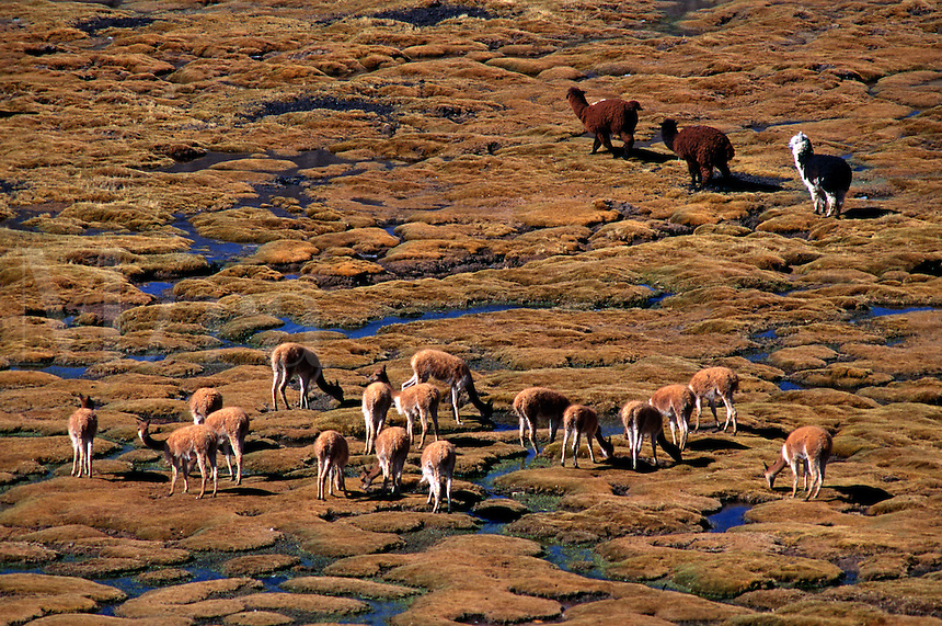 A herd of wild VICUNYA & ALPACA graze on the BOFEDALES (swampy grassland) of LAUCA NATIONAL PARK, CHILE.