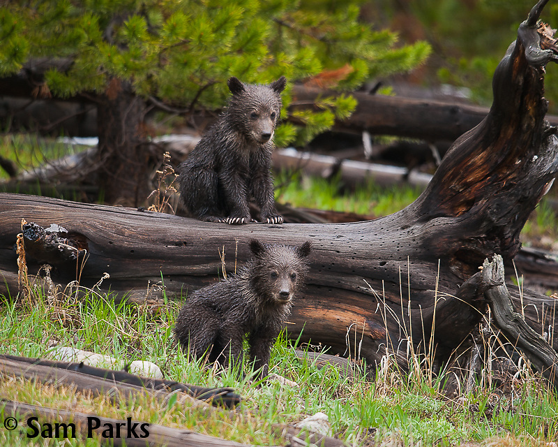 Young grizzly bear cubs. Yellowstone National Park, Wyoming.